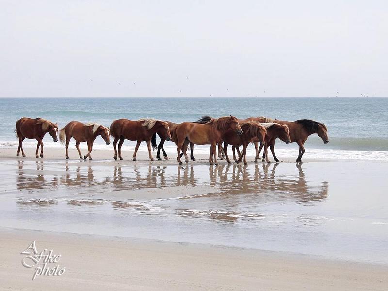 Carova, NC Wild Horses on the Beach